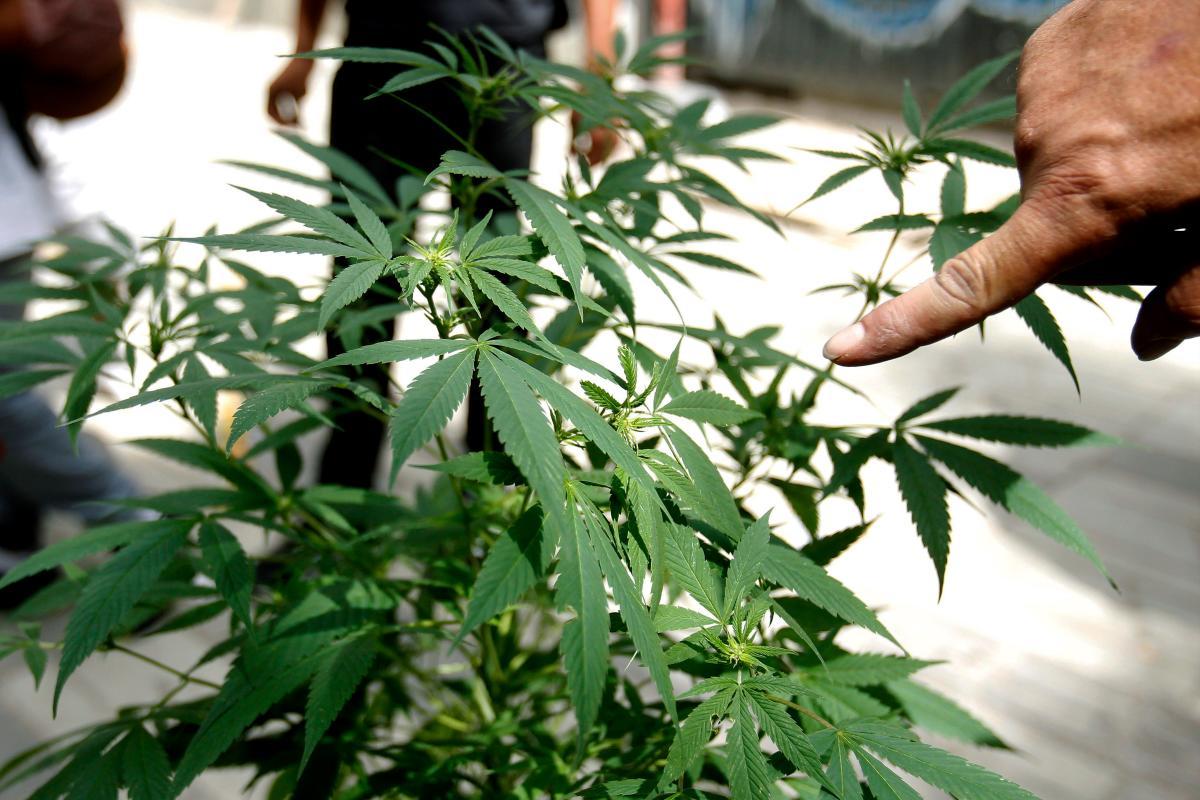 Cuando una persona consume marihuana, lo está consumiendo todo: lo tóxico y lo posiblemente terapéutico. //EFE