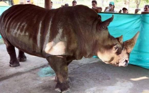 Muere en Colombia rinoceronte blanco, quedan cuatro en el mundo
