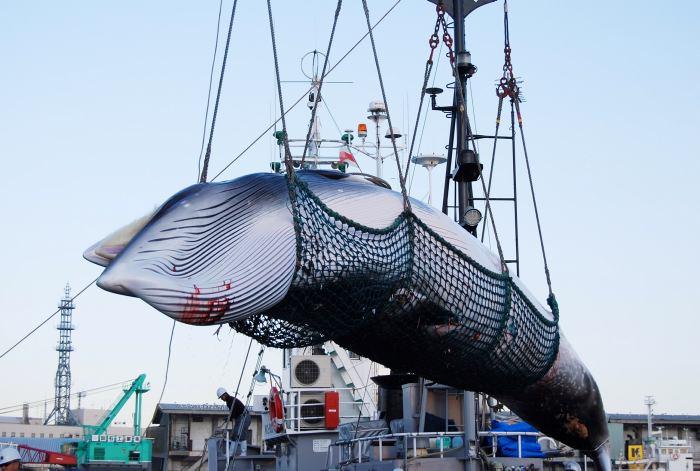 Japon reanudara caza comercial de ballenas