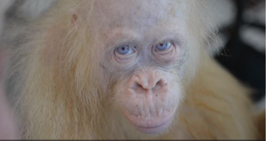 Liberan en un bosque protegido a orangutana única en el mundo
