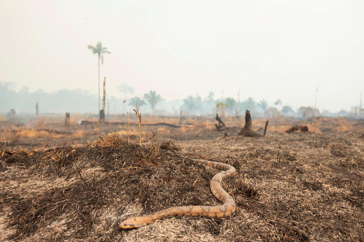 Una serpiente huye del fuego, en Porto Velho, Rondonia (Brasil). Brasil comenzó ayer sábado, dos semanas después de los incendios voraces, a desplegar los 44.000 militares para combatir los incendios. EFE/ Joédson Alves