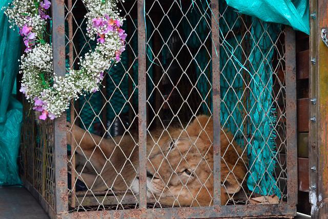 Imagen león jupiter