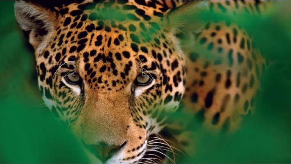 Cómo y por qué el jaguar mexicano está en peligro por el Tren Maya