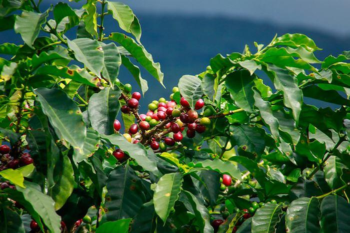 Producción cafetera creció 19% en septiembre