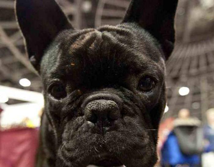 Perro muere a bordo de vuelo de United Airlines