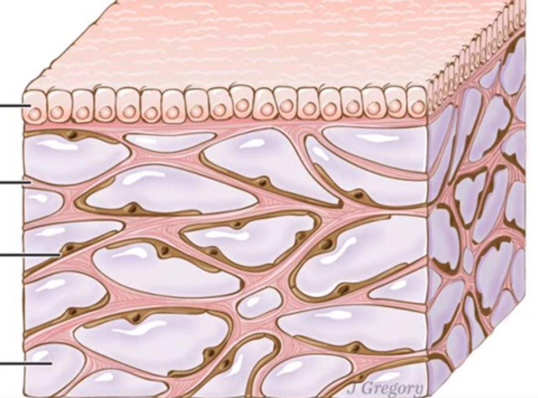 Intersticio, la nueva característica de la anatomía humana | EL ...