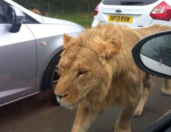 Dos leones, dos tigres y un jaguar escaparon de zoológico — Alemania