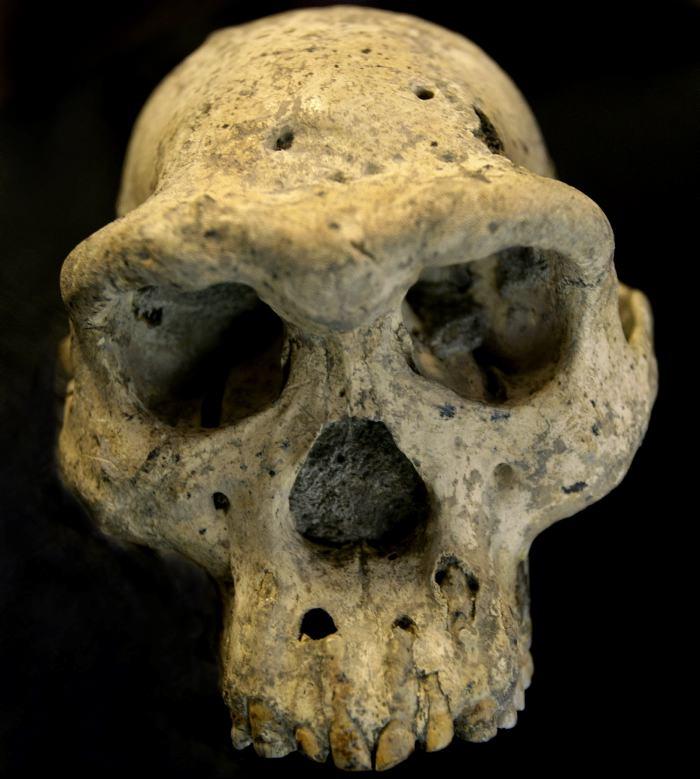 Descubrimiento de cráneo permitirá estudiar la evolución humana ...
