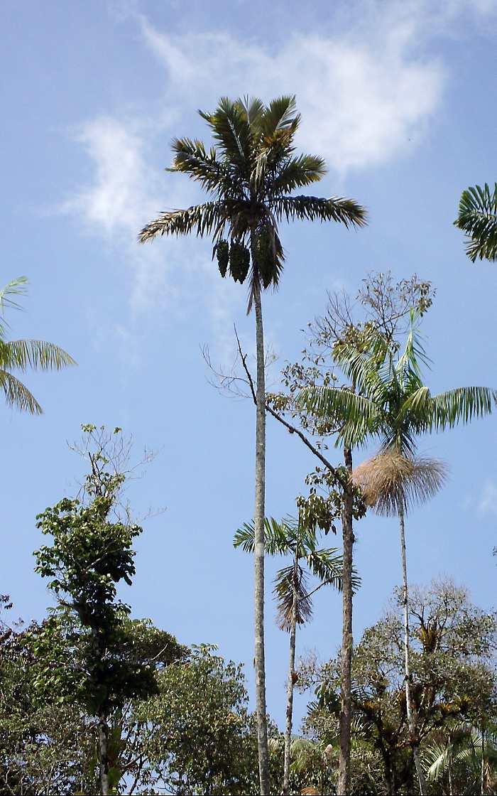 Nuevo hallazgo de especie de palma endémica en Colombia | EL ...
