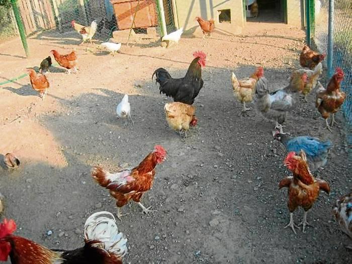 Resultado de imagen para robo gallinas