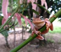 Foto de una rana platanera  (boana xerophyllia) tomada con un celular Sony Xperia XZ2.