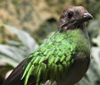 Fotografía cedida de un quetzal, un ave prehispánica en peligro de extinción.
