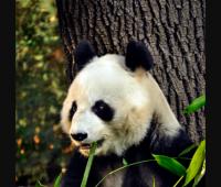 Fotografía cedida por el Gobierno de la Ciudad de México hoy, jueves 14 de junio de 2018, que muestra a la panda gigante Shuan Shuan, mientras come, en Ciudad de México (México)