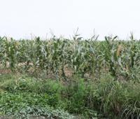 Cultivos de maíz en Marialabaja.