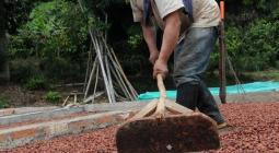 Cultivador de cacao