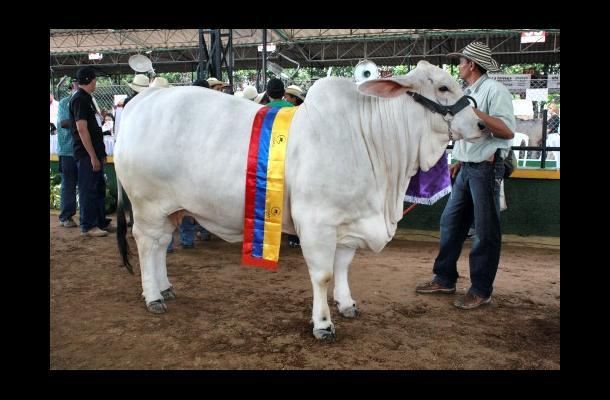 Quedaron cerradas las inscripciones de ganado Cebú