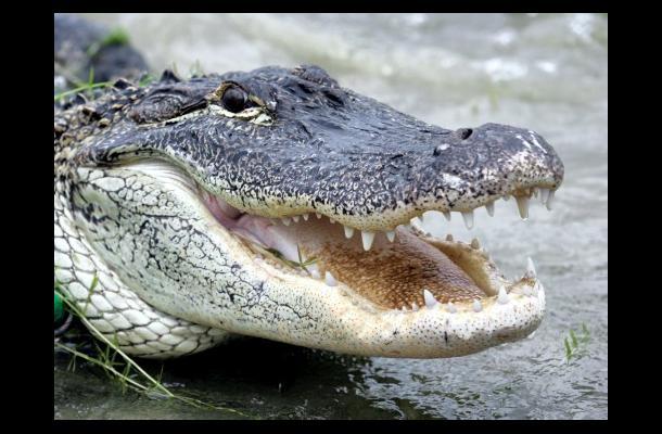 El cocodrilo marino, que vive en zonas costeras, soporta tanto el agua dulce com
