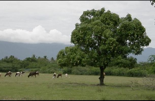 En Córdoba es común que en los potreross haya árboles de mango.