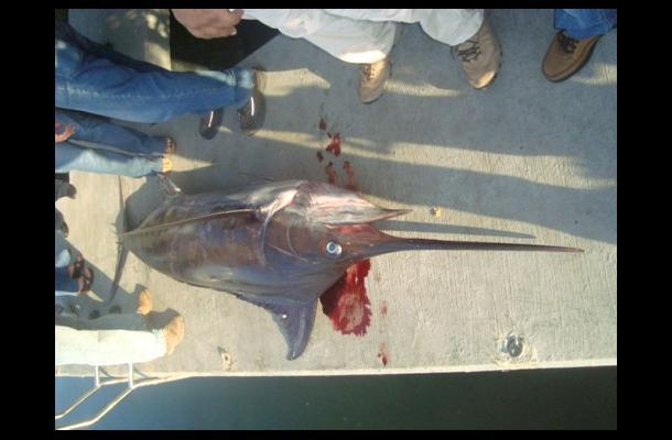 Muerte de pez Marlin en playas de Cartagena