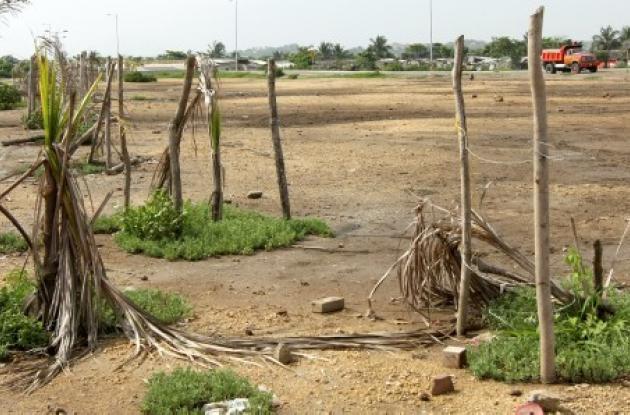 La mayoría de las plantas muertas son cocoteros, que serán reemplazadas por man-gles zaragoza y uvas de playa.