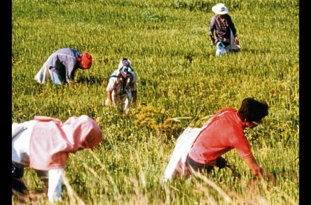 Entre 2007 y 2011 las hectáreas sembradas con semillas Genéticamente Modificadas