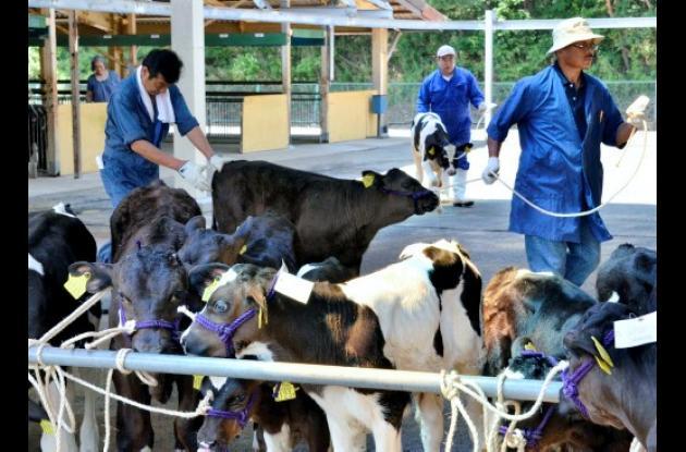 Vacas contaminadas con material radiactivo en Japón