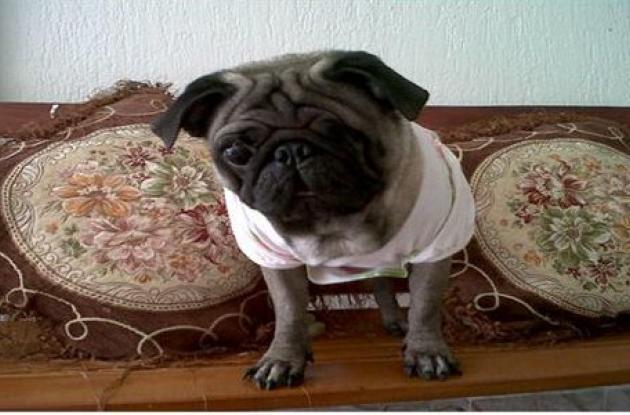 Ofrecen recompensa por mascota hurtada de casa de Los Alpes.