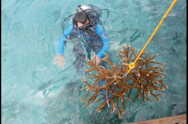 Cultivo y siembra de corales y arrecifes