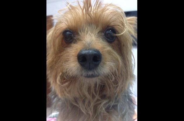 Pitufín, perrito que apareció después de estar tres días extraviado.