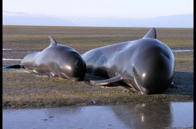 ballenas encalladas en australia