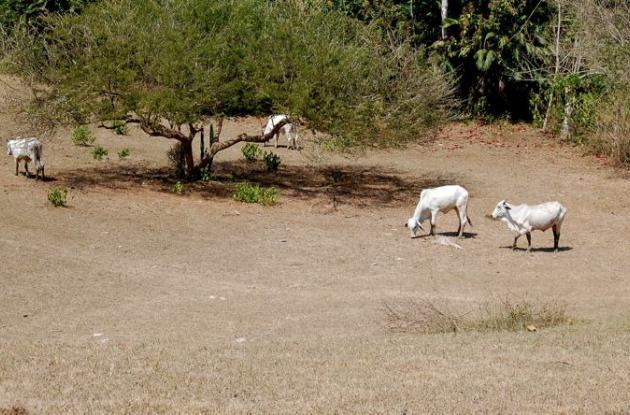 El sector ganadero es uno de los más afectados por la intensa sequía en el departamento de Sucre.