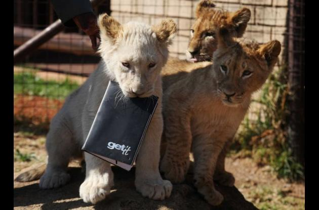 leones sudáfrica