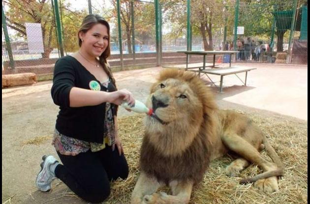 zoologico de lujan tigres y leones