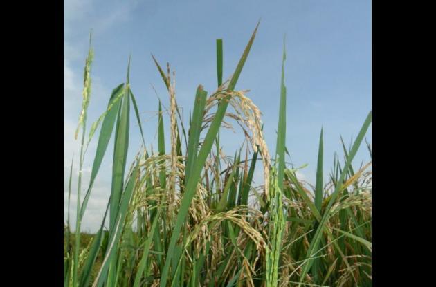Cultivos de arroz Marialabaja