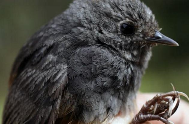 Pájaro Tapaculo.