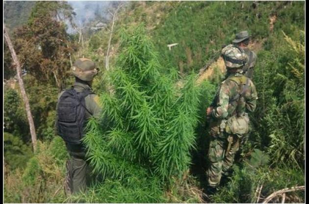 cultivo droga