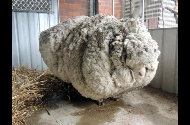 La oveja antes de que le quitaran la lana.