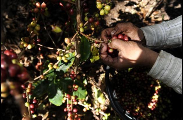 Cultivo de café.