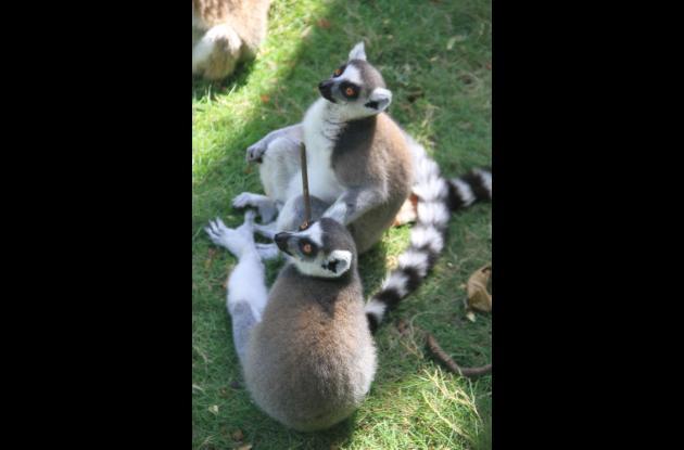 Lémur cola anillada.