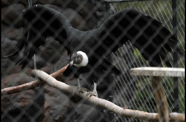 El Ministerio de Ambiente; la Asociación Colombiana de Parques Zoológicos, Acuarios y Afines (Acopasoa) y el Parque Jaime Duque lanzaron el programa oficial de Cría y Liberación del Cóndor de los Andes
