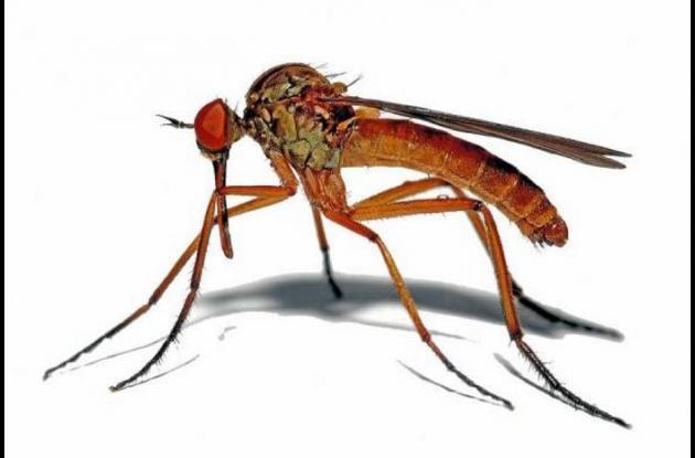 Mosquito transmisor del Zika.