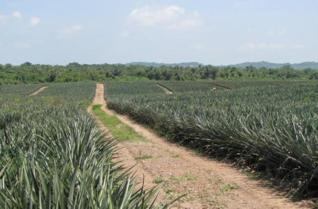 De las noticias positivas del 2105 fue la instalación de nuevos cultivos de piña en la zona aledaña al embalse de San José de Playón, en Marialabaja.