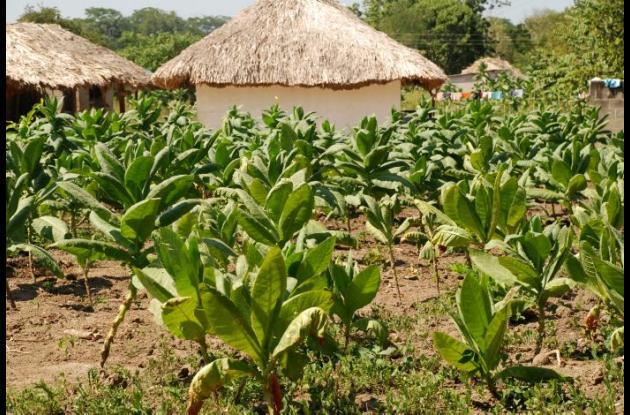 Cultivo de tabaco en Montes de María.