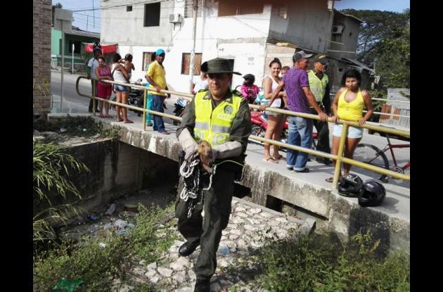 El chigüiro fue rescatado por la Policía Ambiental de un arroyo ubicado en los barrios Gaitán y El Cortijo.