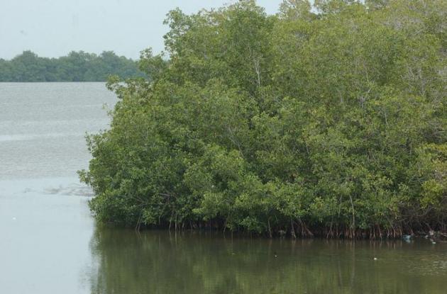 Una de las estrategias del Plan 4C es reforestar los mangles.