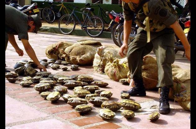 Controles para evitar la caza indiscriminada de hicoteas y otras especies de la fauna son adelantados en El San Jorge y La Mojana.