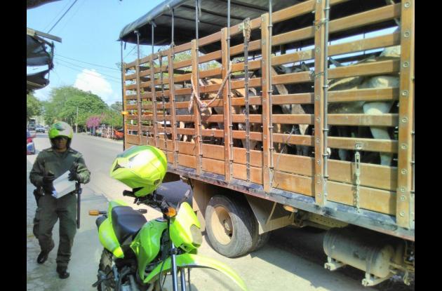 Los animales quedaron disposición del Inspector de Policía Municipal de Sampués.
