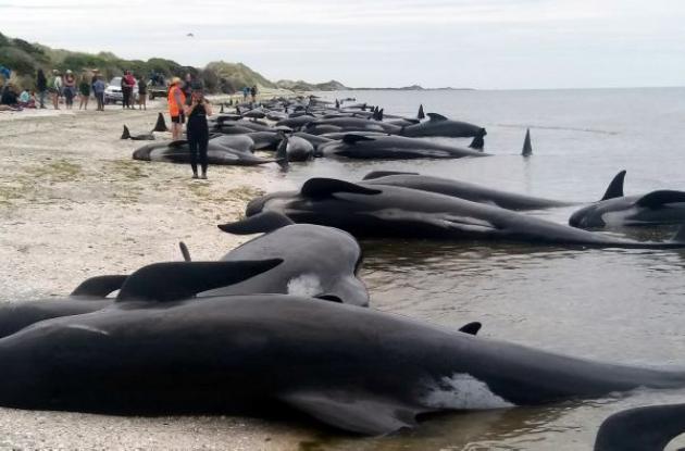 Mueren ballenas encalladas en Nueva Zelanda