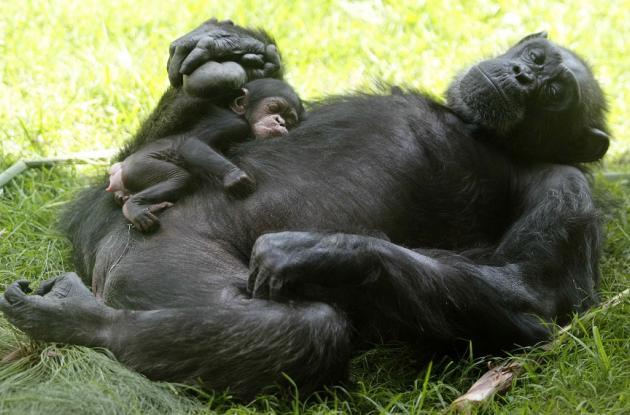 La chimpancé Zuri cuidando a su pequeña de una semana cuando nació en el zoológico de Guadalajara (México)