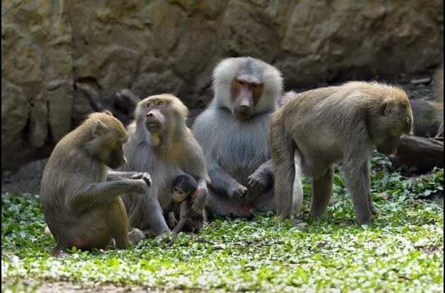 Un bebé papión (Papio Hamadryas) con otros miembros de su especie.